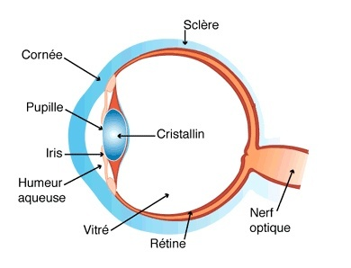 Schéma de la rétine